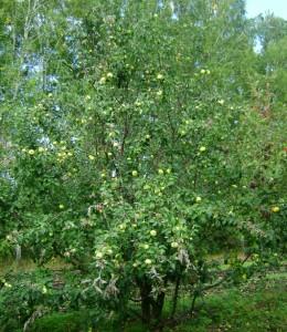 Дерево Антоновки в возрасте 15 лет