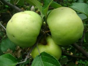 плоды Антоновки обыкновенной