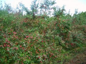 Заветное, дерево в возрасте 15 лет
