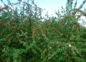 Дерево Зимнего шафрана, 8 лет