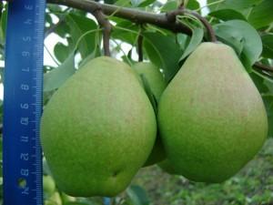 Памяти Жегалова плоды