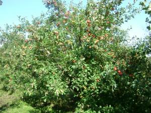 лучшие сорта яблони для Сибири - Пепин шафранный
