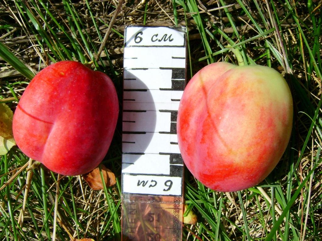 Описание яблони подарок садоводам 355