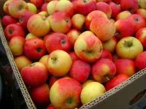 плоды Зимнего шафрана