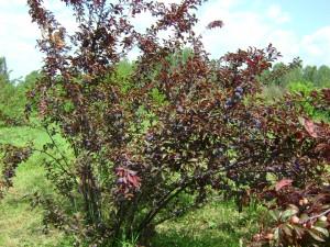 цыган дерево