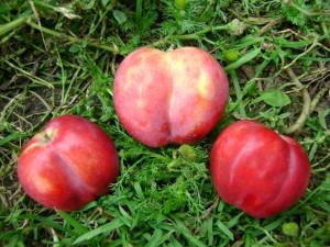 лучшие сорта яблони для Сибири - Смугляночка