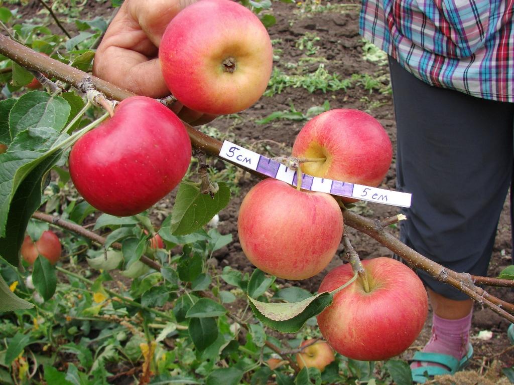 Яблоня подарок садоводам описание сорта фото отзывы 89