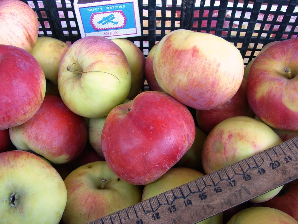 Подарок садоводу сорт яблони 87
