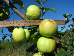плоды сорта Чудное